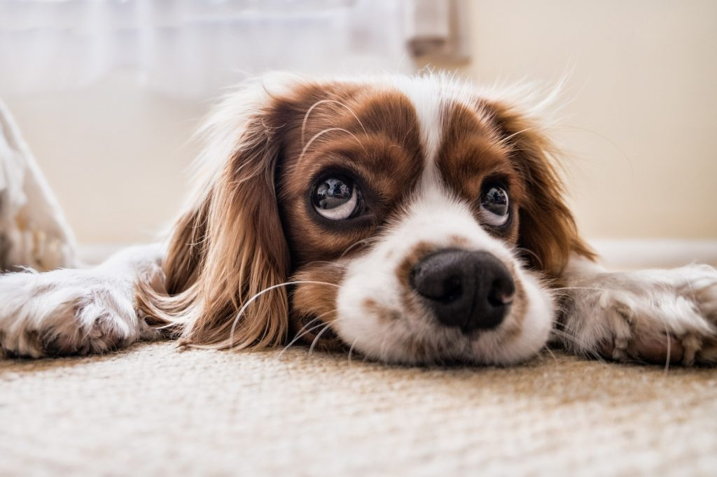 how to remove dog smell from carpet
